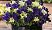 HANGING BASKET COMBO - 1 COUNT