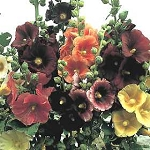 Alcea rosea - Indian Spring (Hollyhock)