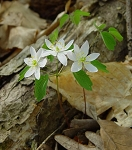 Anemonella thalictroides - Rue Anemone