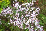 Aster lateriflorus - Calico Aster