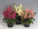 Astilbe arendsii - Astary Mix