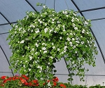 Hanging Basket - Bacopa - White