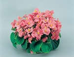 Begonia - Super Olympia Pink
