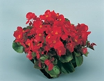 Begonia - Super Olympia Red