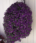Hanging Basket - Calibrachoa-Million Bells Purple