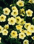 Hanging Basket - Calibrachoa-Million Bells Yellow