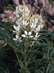 Cleome - Queen Series White