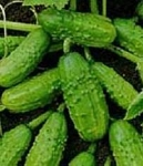 Cucumbers - Pickling