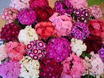 Dianthus barbatus - Indian Carpet Midget Mix