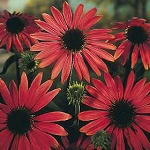 Echinacea purpurea - Ruby Star (Coneflower)