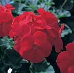 Geranium, Seed-Grown - Maverick Red