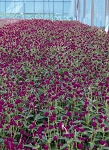 Gomphrena - QIS Purple
