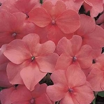 Impatiens - Accent Salmon