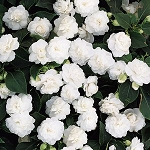 Hanging Basket - Impatiens - White
