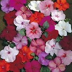 Impatiens - Accent Mix