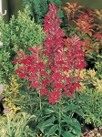 Hanging Basket - Lobelia - Fountain Crimson