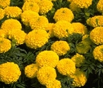 Marigold - Lady Gold