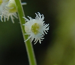 Mitella diphylla - Bishop's Cap