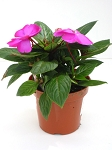 New Guinea Impatiens - Petticoat Blue Star