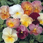 Pansy - Imperial Antique Shades