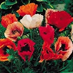 Papaver orientalis - Oriental Choice Mix (Poppy)