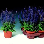 Salvia superba - Merleau Blue