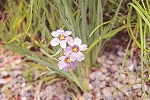 Sisyrinchium angustifolium - Stout Blue-eyed Grass