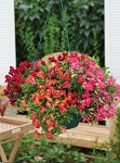 Hanging Basket - Snapdragon-Candy Showers