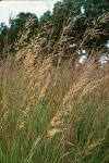 Sorghastrum nutans - Indian Grass