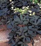 Sweet Potato Vine - Blackie