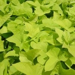 Sweet Potato Vine - Marguerite Lime