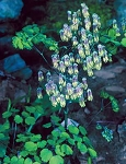 Thalictrum dioicum - Early Meadow Rue