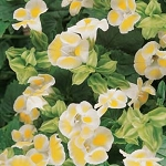 Torenia - Clown Lemon