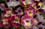 Torenia - Clown Mix
