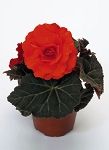 Hanging Basket - Tuberous Begonia-Orange