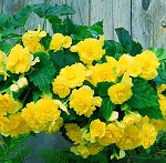 Hanging Basket - Tuberous Begonia-Yellow