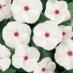 Vinca - Cooler Peppermint