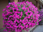 Hanging Basket - Wave Petunia-Pink