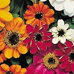 Zinnia - Profusion Mix