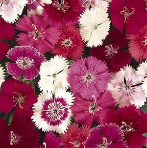 Dianthus - Ideal Magical Mix