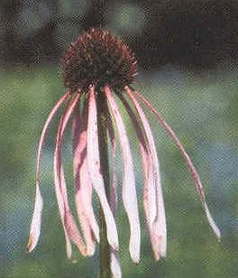 Echinacea angustifolia - Narrow-leaved Coneflower