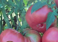Tomatoes - Heirloom Dester's Amish - Organic