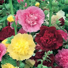Alcea rosea - Powderpuffs (Hollyhock)