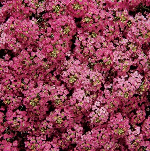 Alyssum - Wonderland Deep Rose