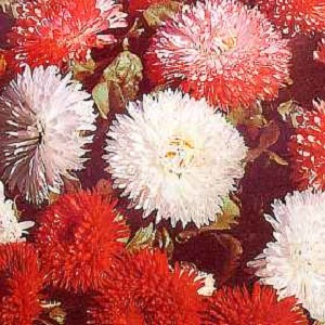 Bellis perennis - Super Enorma Mix (English Daisy)