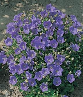 Campanula carpatica - Dark Blue Clips