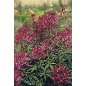 Cleome - Queen Series Violet