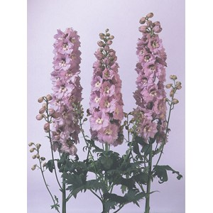 Delphinium x elatum - Cherry Blossom - Magic Fountains