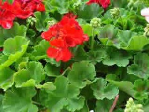 Geranium - Red Cutting Grown
