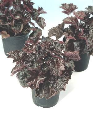 Heuchera micanthra - Purple Palace